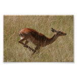 running thompson's gazelle poster