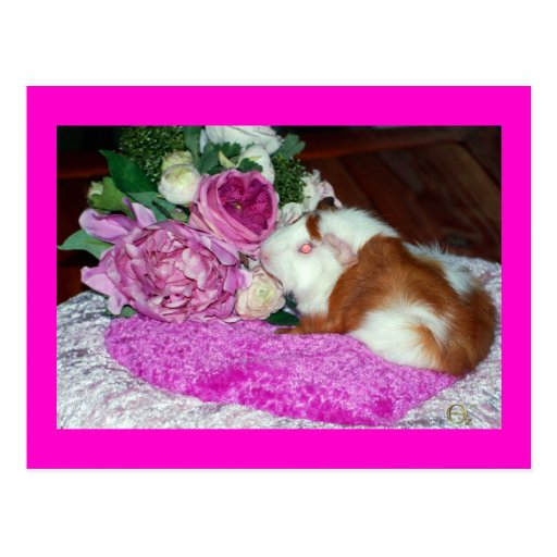 Rupert and Roses - Guinea Pig Postcard
