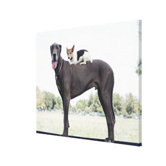 Russell terrier on great dane's back canvas print