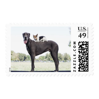 Russell terrier on great dane's back postage