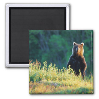 Russia, Kamchatka, grizzly of Kroska 2 Inch Square Magnet