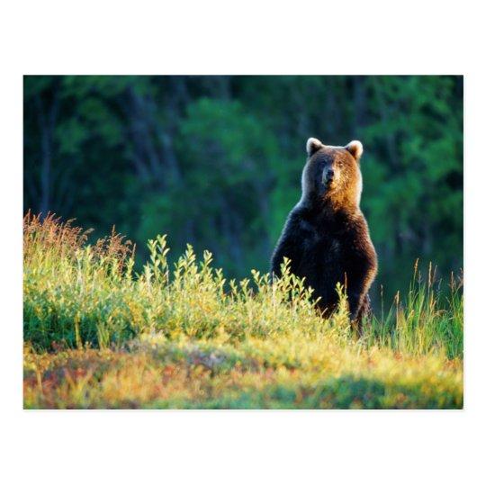 Russia, Kamchatka, grizzly of Kroska Postcard