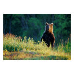Russia, Kamchatka, grizzly of Kroska Print