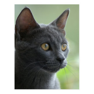 Russian Blue Cat Postcard