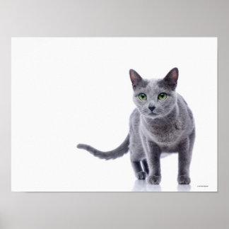Russian Blue Cat Poster