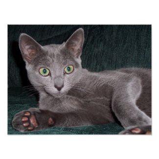 Russian Blue Poster print