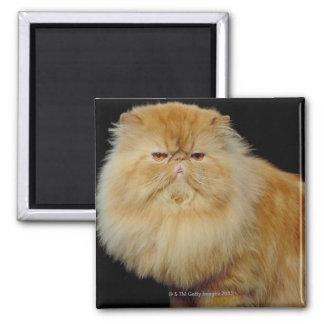 Russian Long Hair Cat Fridge Magnets
