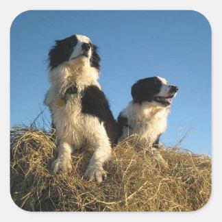 Rustic Black And White Border Collie Puppy Dog Square Sticker