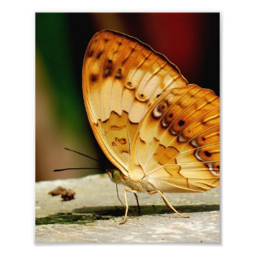 Rustic Brush Footed Butterfly Photo