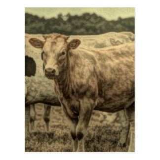 Rustic Dairy Farm Animal Brown Swiss Cow Postcard