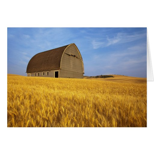 Rustic old barn in mature wheat field in the 2 greeting card