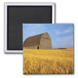 Rustic old barn in mature wheat field in the 2 2 inch square magnet
