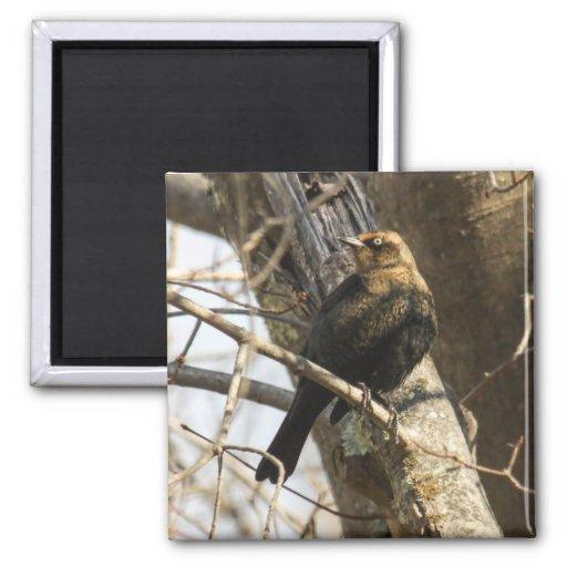 Rusty Blackbird Magnets