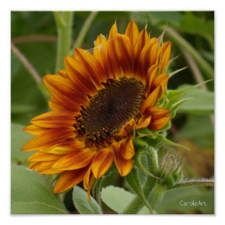 Rusty Red Sunflower Poster
