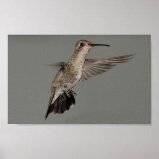 Rutila de Amazilia - colibrí del canela Impresiones