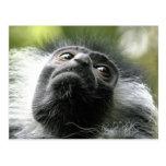 Rwanda Colobus Monkey Postcard
