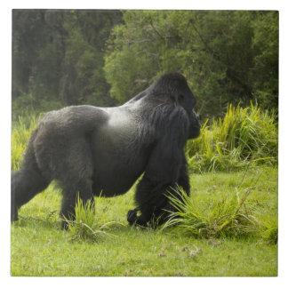Rwanda, parque nacional de los volcanes. Montaña 2 Azulejo Cuadrado Grande