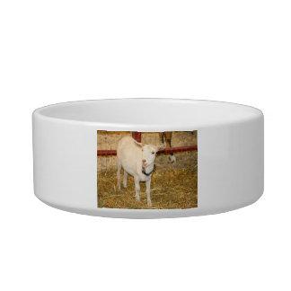 Saanen doeling goat mouth open cat water bowl