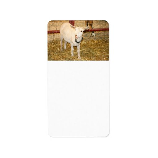 Saanen doeling goat mouth open labels