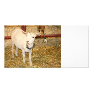 Saanen doeling goat mouth open photo card