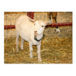 Saanen doeling goat mouth open post card