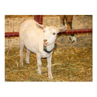 Saanen doeling goat mouth open postcard