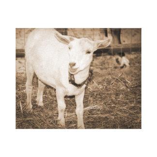 Saanen doeling sepia goat mouth open canvas print