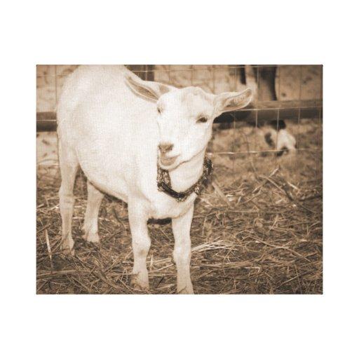 Saanen doeling sepia goat mouth open canvas prints