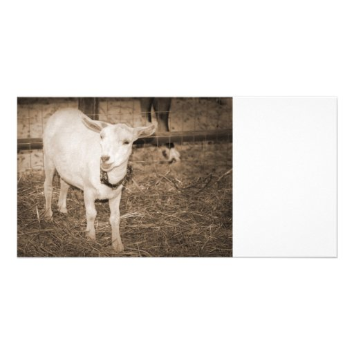 Saanen doeling sepia goat mouth open photo card