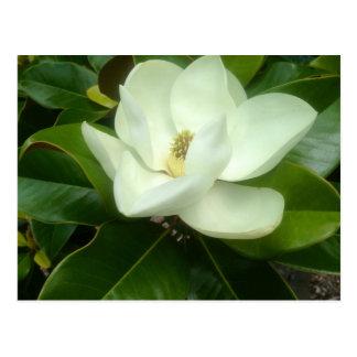 Sabana Georgia de la floración de la magnolia Postales