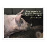 Sabiduría del cerdo - iguales postales