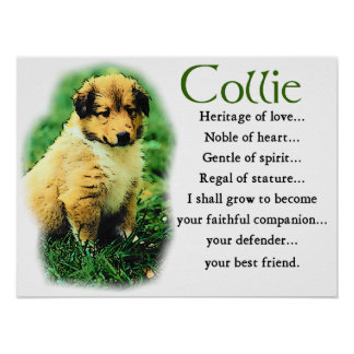 Sable Collie Gifts Poster