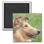 Sable Rough Collie Magnets