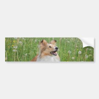 Sable Shetland Sheepdog Bumper Stickers