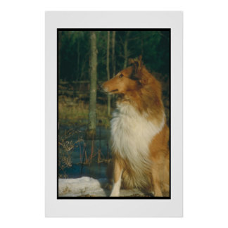 Sable & White Collie Poster