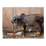 Sacred Cow in India feeding on garbage Postcard