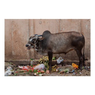 Sacred Cow in India feeding on garbage poster