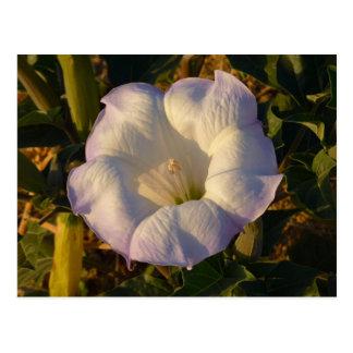 Sacred Datura Flower Desert Wildflower Postcard