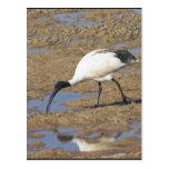 Sacred Ibis Postcards