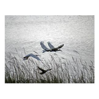 Sacred ibises in flight postcard