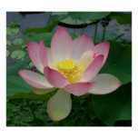 Sacred Lotus Flower Nelumbo Nucifera Poster