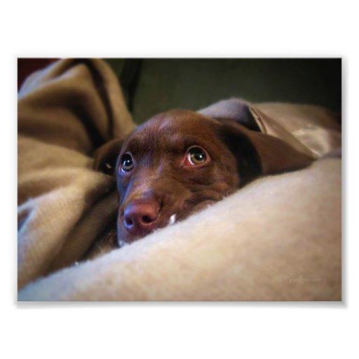 Sad Chocolate Lab Pittie puppy dog Art Photo
