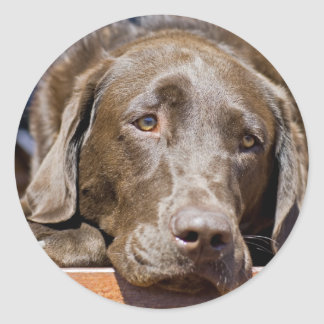 Sad Chocolate Labrador Classic Round Sticker