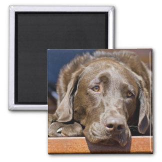 Sad Chocolate Labrador Magnet