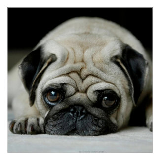 Sad pug - dog lying down - dog look - cute puppies poster