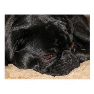 Sad Pug Postcard
