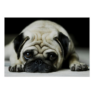 Sad Pug Puppy Dog Poster