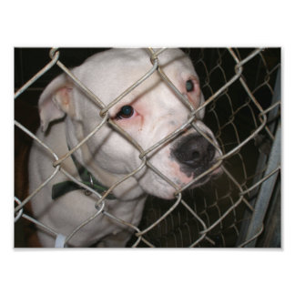 Sad White Boxer Mix in Kennel Cage Photo Art