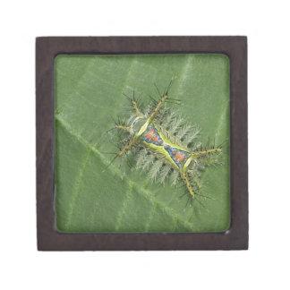 Saddleback moth, Acharia sp., poisonous Keepsake Box