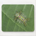 Saddleback moth, Acharia sp., poisonous Mouse Pad